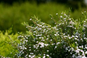 Diosma hir. Sunset gold (3)