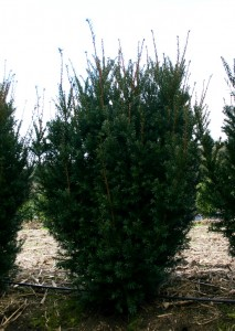 Taxus media Hicksii (1)